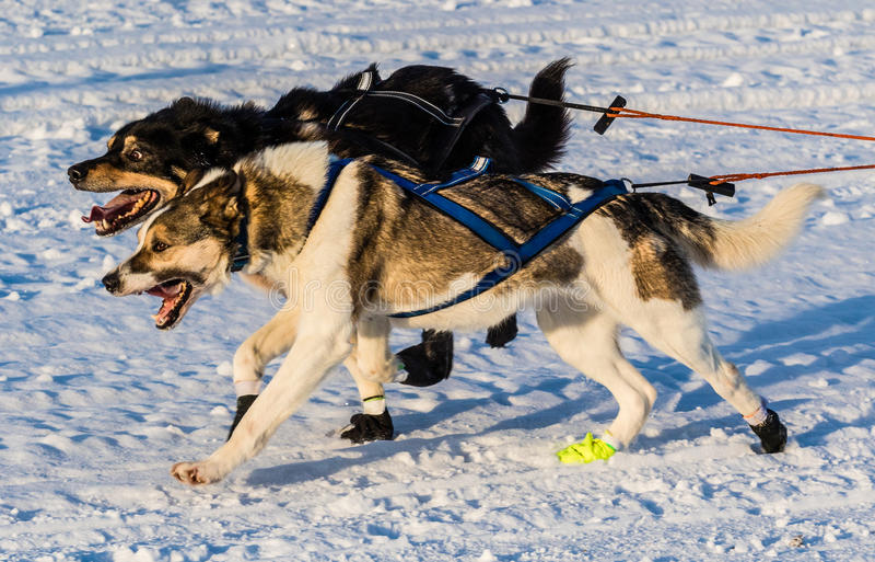 2016 Yukon-de honden van de Zoektochtslee royalty-vrije stock afbeelding