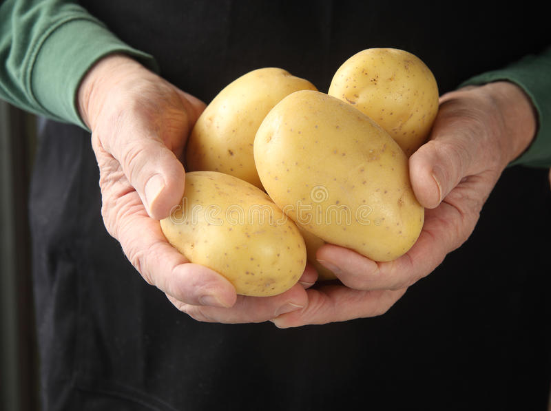 Yukon gold potatoes in hands royalty free stock image