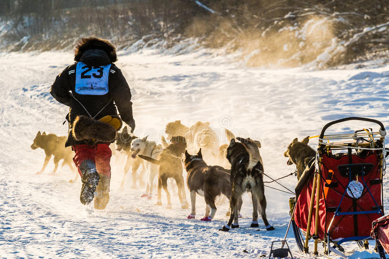 2016 Yukon Quest sled dogs stock photo