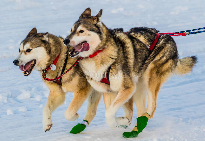 2016 Yukon Quest sled dogs stock photography