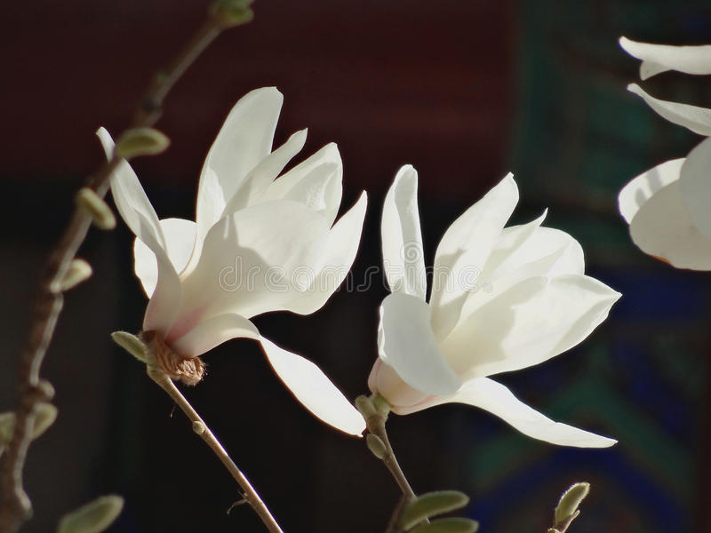 Yulan flowers in the Summer Palace royalty free stock images