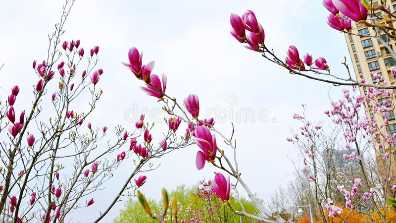 yulan magnolia arkivbilder