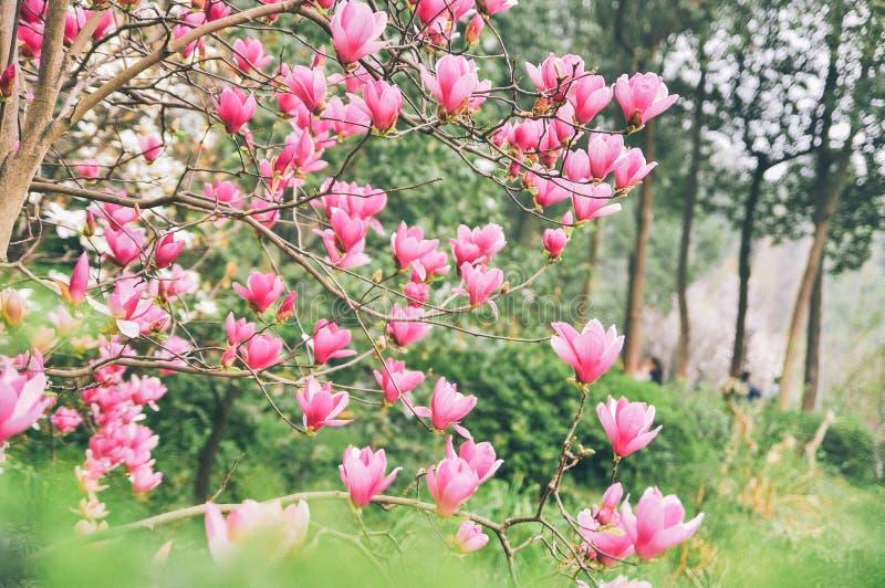 Yulan magnolia flowers in Spring. Pink, jane. royalty free stock photos