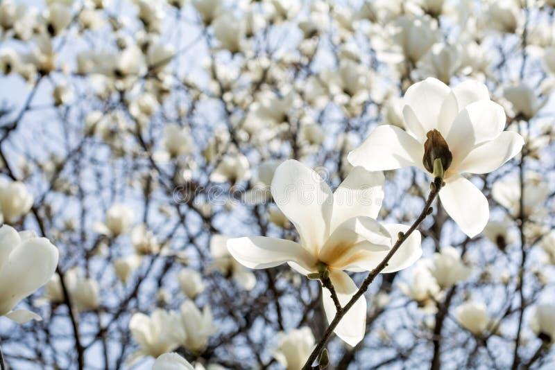 Yulan magnoliablommor arkivfoto