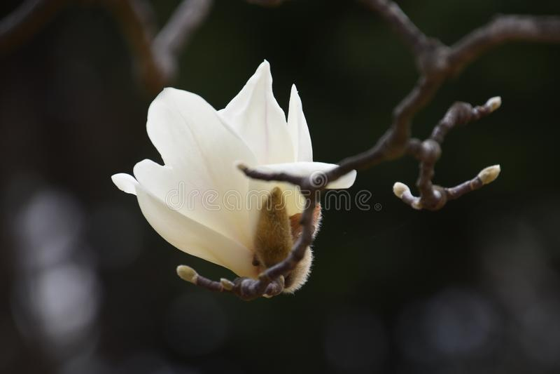 Yulan magnolii okwitnięcia obraz royalty free