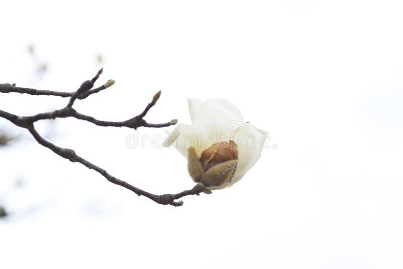 Yulan magnolii okwitnięcia fotografia royalty free