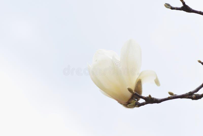Yulan magnolii okwitnięcia zdjęcia stock