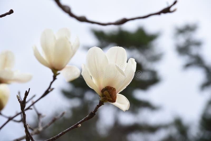 Yulan magnolii okwitnięcia zdjęcia royalty free