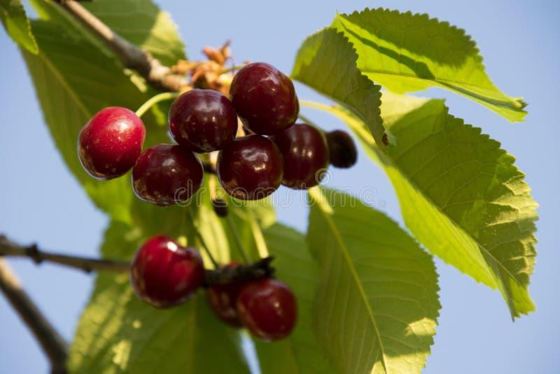 Download Yum di yum della ciliegia fotografia stock. Immagine di frutte - 117980404