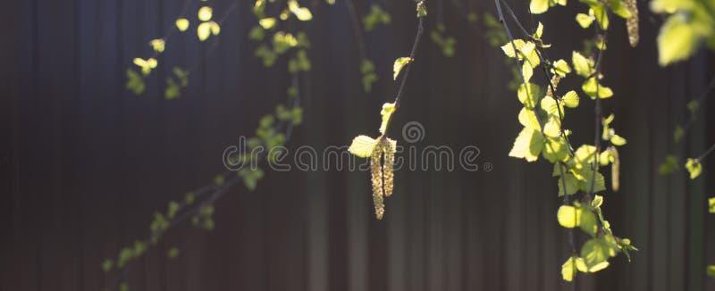 Yung耳环和liaves在桦树分支,特写镜头照片在秋天在红色背景 皇族释放例证