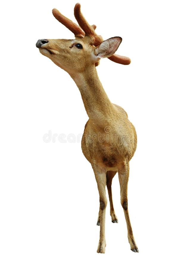 Download Yung Deer Isolated On White Stock Photo - Image: 11900250