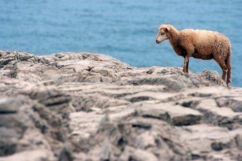 Yung wild sheep royalty free stock photo