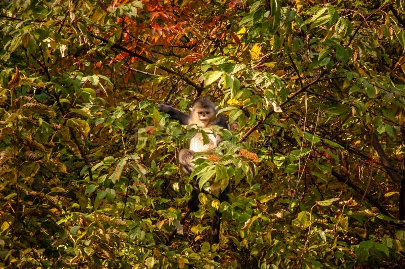 Yunnan czerń Ostrożnie wprowadzać małpa zdjęcie royalty free