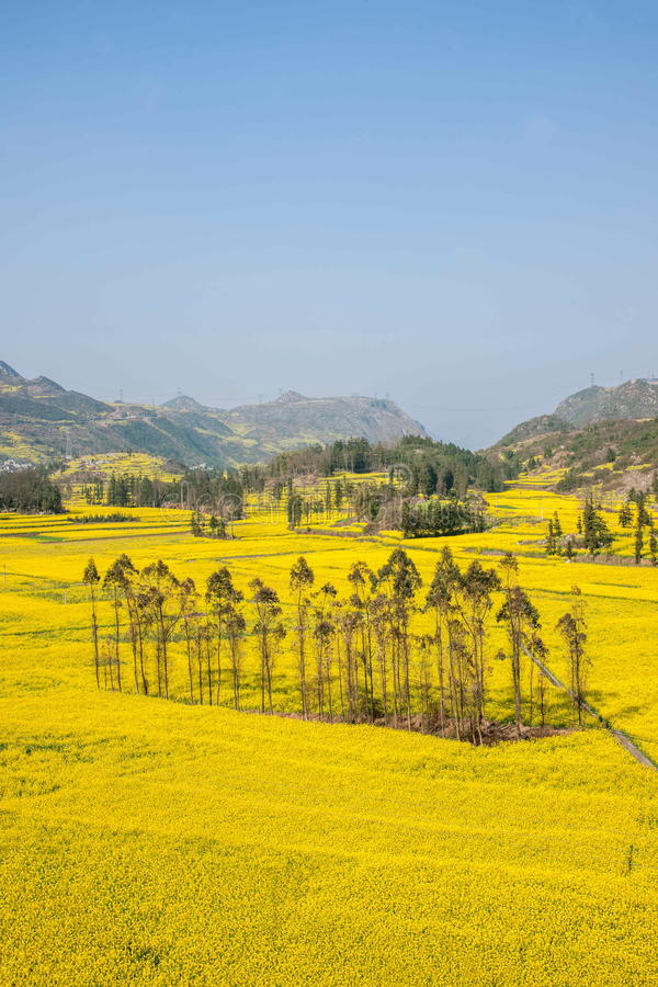 Yunnan Luoping County Niujie Township Camp foot screws terraced canola flower royalty free stock photo