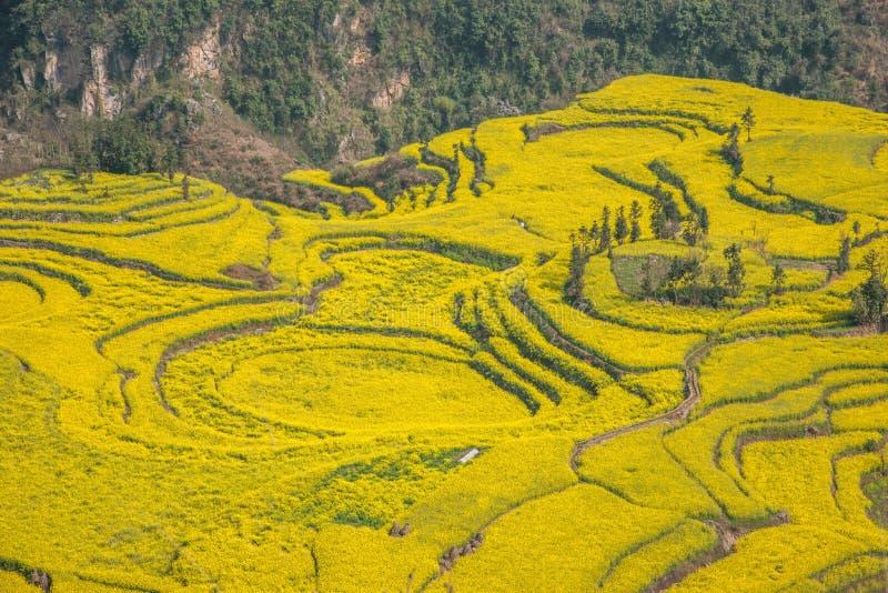 Yunnan Luoping okręgu administracyjnego Niujie społeczności miejskiej obozu nożne śruby tarasowali canola kwiatu fotografia stock