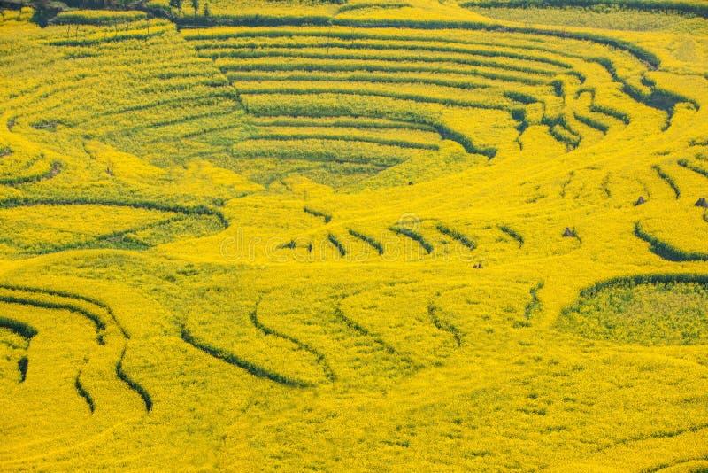 Yunnan Luoping okręgu administracyjnego Niujie społeczności miejskiej obozu nożne śruby tarasowali canola kwiatu obraz stock