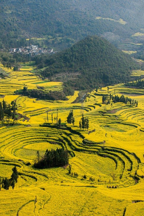 Yunnan Luoping okręgu administracyjnego Niujie społeczności miejskiej obozu nożne śruby tarasowali canola kwiatu obraz royalty free