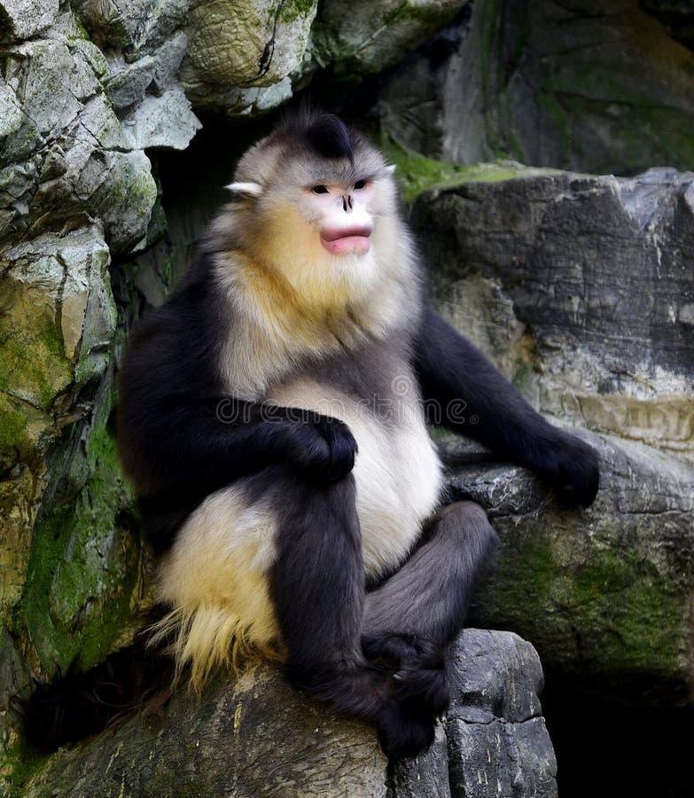 Yunnan nosa małpa zdjęcie stock