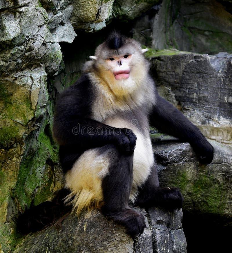 Yunnan nosa małpa obrazy stock