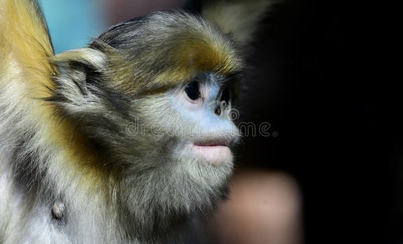 Yunnan nosa małpa fotografia stock