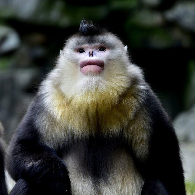 Yunnan nosa małpa zdjęcie royalty free