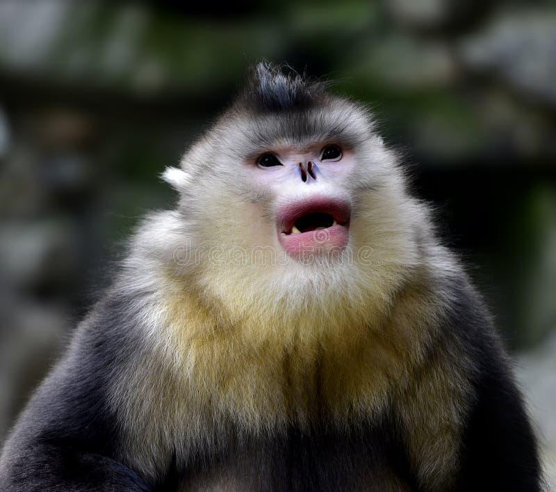 Yunnan nosa małpa fotografia royalty free