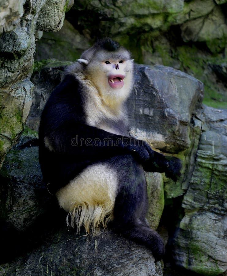 Yunnan nosa małpa obrazy royalty free