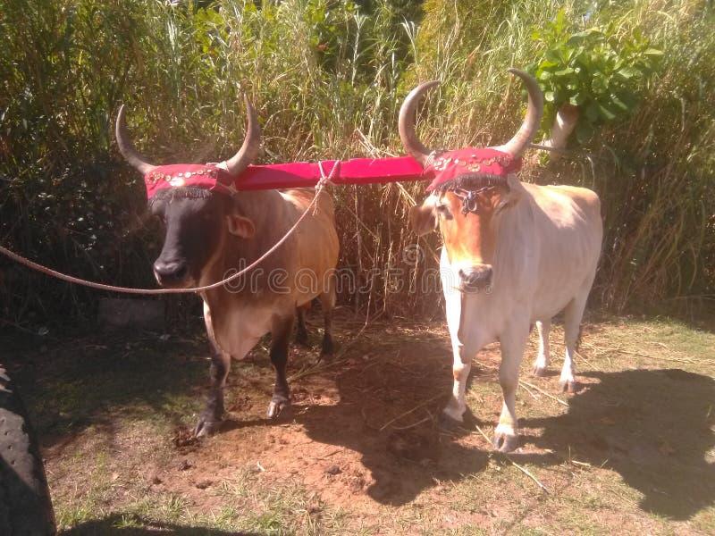 Yuntas de Oxen-festival in Aguada royalty-vrije stock foto's
