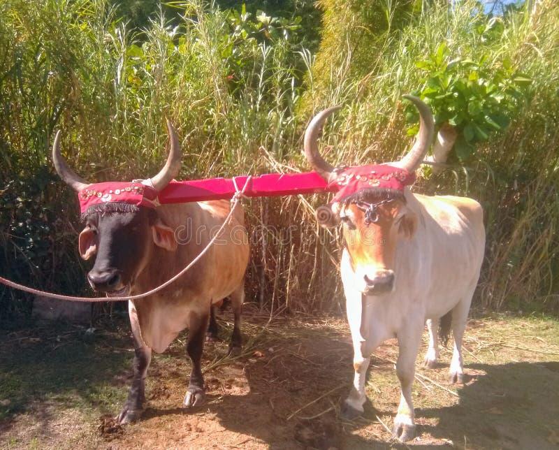 Yuntas de Oxen-festival in Aguada royalty-vrije stock foto