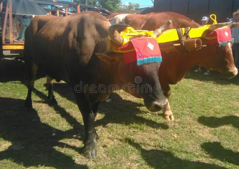 Yuntas de Oxen-festival in Aguada stock foto