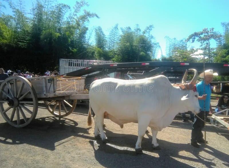 Yuntas de Oxen Festival in Aguada stockbilder