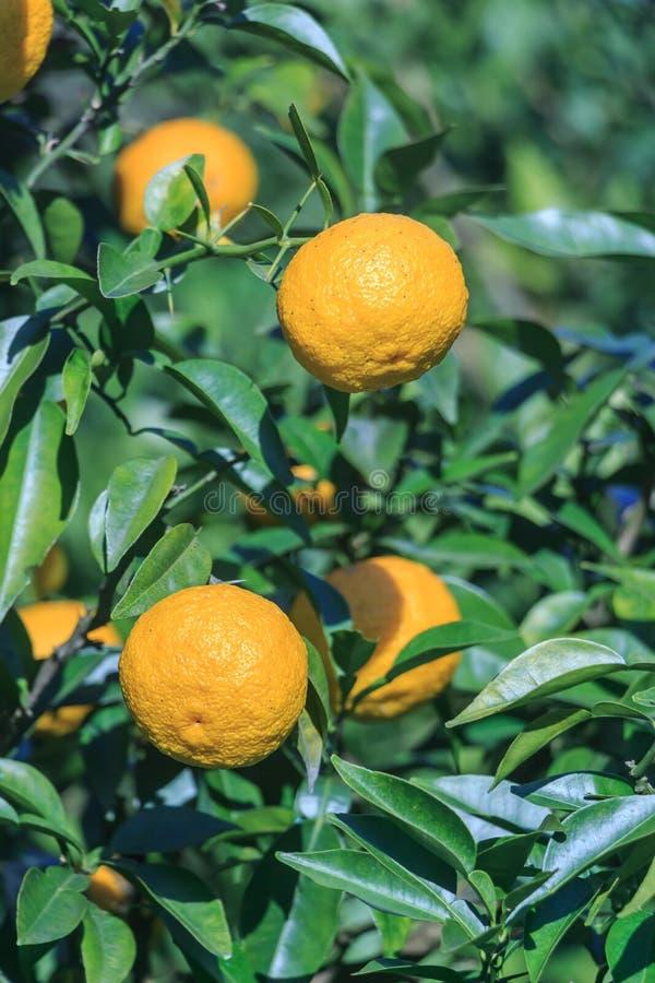 Yuzu: Junos de la fruta cítrica foto de archivo