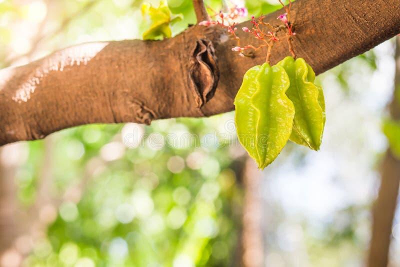 Żywa gwiazdowego jabłka owoc na drzewie jest sławna w Thailand obraz stock