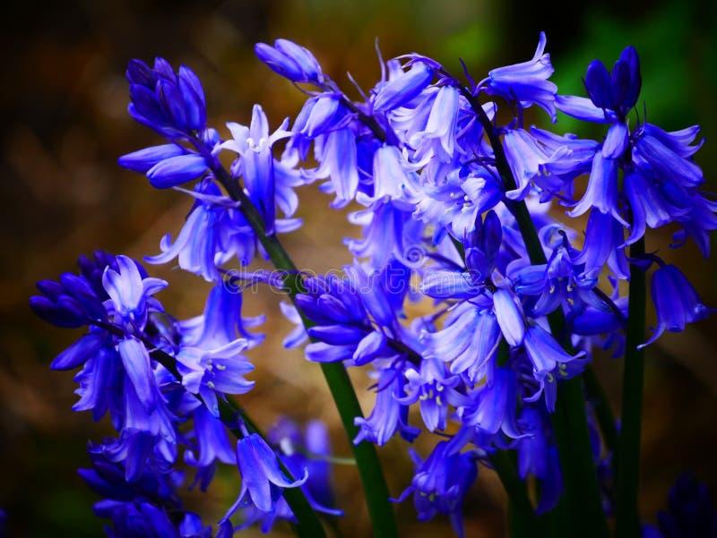 Żywi bluebells obrazy stock