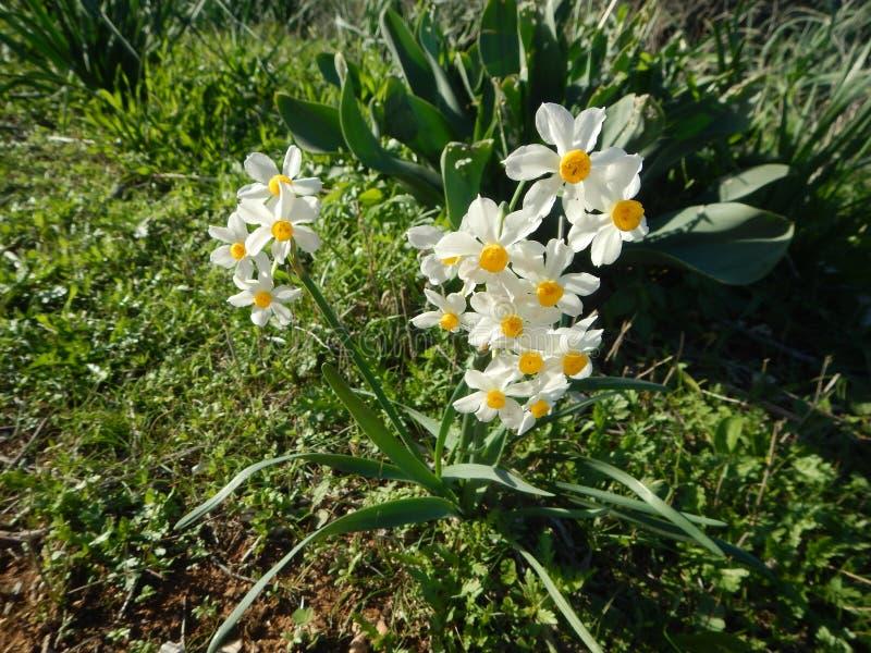 Ywllow och vit påsklilja i blomning arkivfoton
