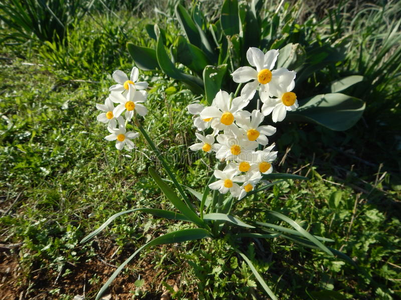 Ywllow und weiße Narzisse in der Blüte stockfotos
