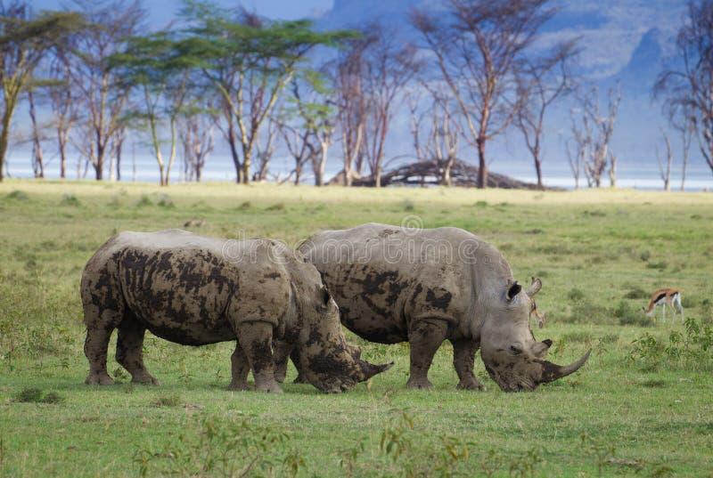 Yworinoceros in het nationale Park van Meernakuru stock fotografie