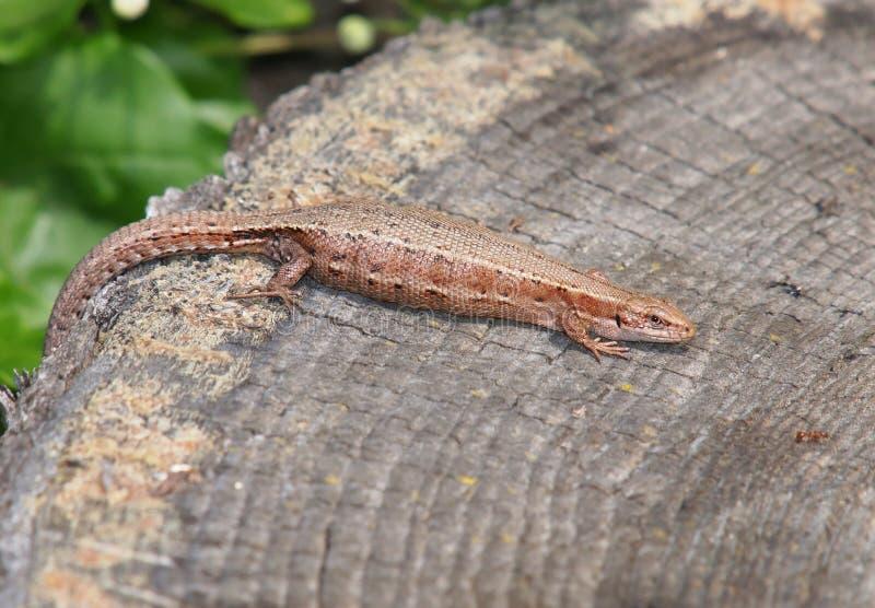 Download Żyworodna Jaszczurka (Zootoca Vivipara) Zdjęcie Stock - Obraz złożonej z zwierzęta, jaszczurka: 57664152