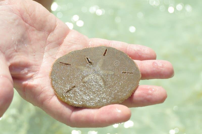 Żywy piaska dolar zdjęcie royalty free