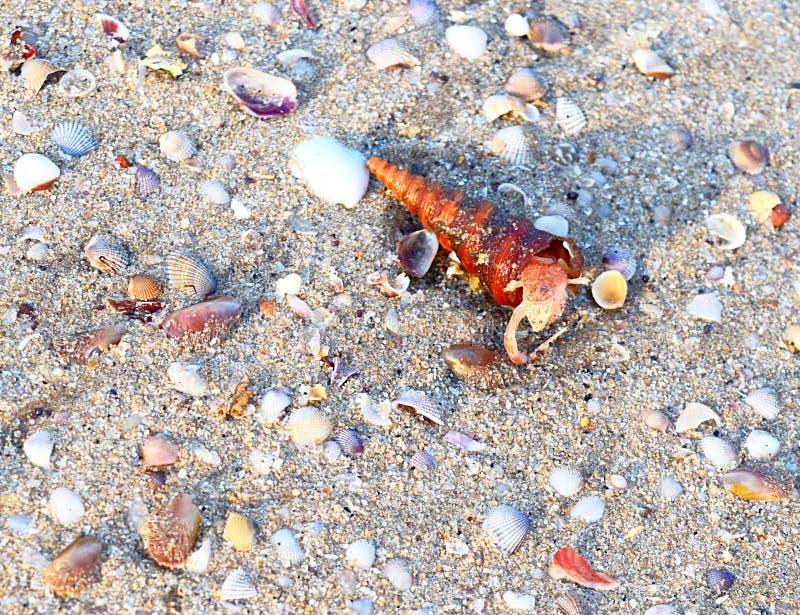 Żywy Turritella Gastropod Mollusk przybycie z Shell obraz royalty free