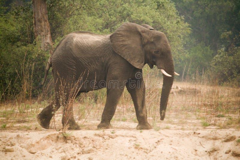 Zâmbia África do elefante fotografia de stock royalty free