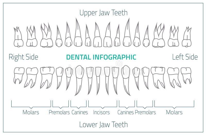 Zähne infographic 01 B-08 lizenzfreie abbildung