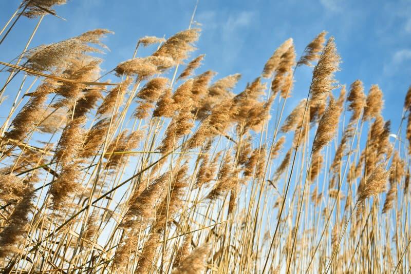 Złota sucha słoma zasadza nazwanych poaceae poales rusza się wiatrem na niebieskim niebie jako tło obrazy stock