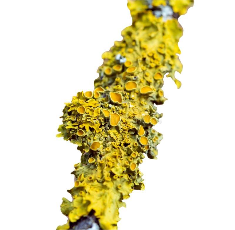 Złotorosta parietina, Pomarańczowy liszaj, Żółty liszaj odizolowywający nad bielem zdjęcia stock