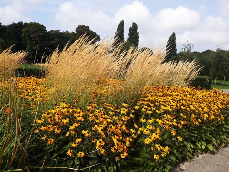 Złoty żółty Rudbeckia kwiat także zna jako Z Podbitym Okiem Susan lub Coneflower w pięknym parku zdjęcia stock