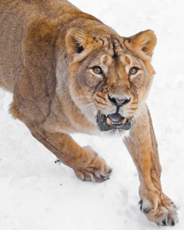 Zły drapieżczy spojrzenie kolor żółty ono przygląda się groźny poryk odchylony toothy usta Przód żeński lew kaganiec, i fotografia royalty free
