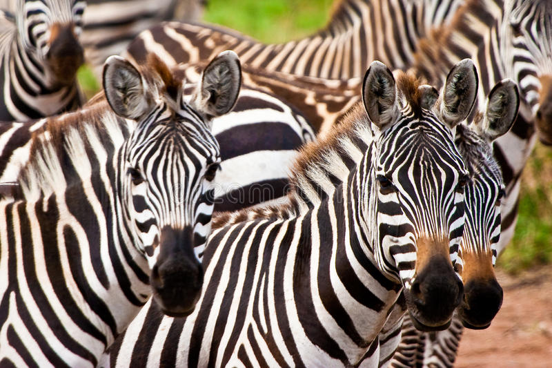 zèbre animal photo libre de droits