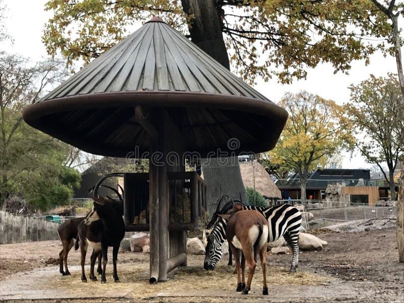 Zèbre, antilope et d'autres ungulates dans un conducteur animal en bois photos stock