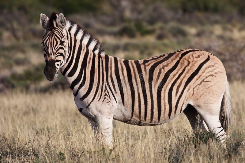Zèbre au parc national de Karoo image libre de droits