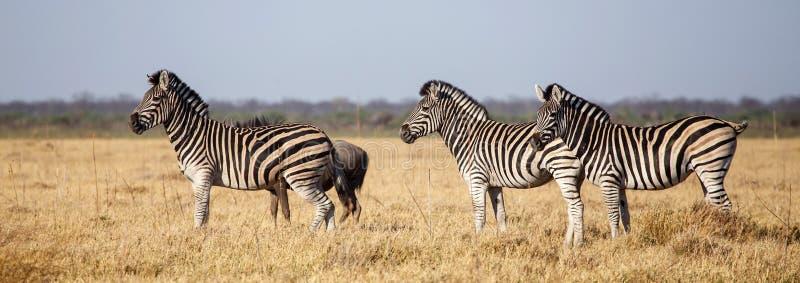 Zèbre - Chobe N P Le Botswana, Afrique image stock